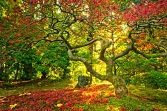 Portland Japanese Garden Maple 4631 C (jim.choate59) Tags: autumn fallseason tree leaves jchoate maple japanesemaple garden portland portlandoregon sunrise portlandjapanesegarden moss on1pics