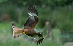 Red Kite. (Delboy Studios) Tags: redkiteswales
