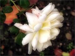 (Tölgyesi Kata) Tags: withcanonpowershota620 füvészkert botanikuskert botanicalgarden fleur virág budapest blossom rosen rosa rosier rose rózsa autumn ősz whiteflower herbst