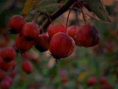 Pommes automne (BeMo52) Tags: apples baum blätter flora früchte fruits garten leaves malus nature shrub tree zieräpfel 7dwf