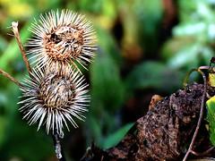 Autum nature (robárt shake) Tags: autum herbst nature plant stachelig sticheln herbstlich pflanze natürlich ökologisch ökologie weltlich trauerkarte trauer traurig vertrocknet