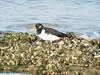 Oystercatcher (_jons_) Tags: hilbreisland hilbre nature naturephotography wildlife wildlifephotography birds birding birdingphotography birdwatching birdphotography