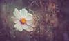 Cosmos (Dhina A) Tags: sony a7rii ilce7rm2 a7r2 kaleinar mc 100mm f28 kaleinar100mmf28 5n m42 nikonf russian ussr soviet 6blades cosmos flower bokeh