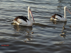 Pelicans (pat.bluey) Tags: pelican lakeillawarra light 1001nights 1001nightsmagiccity nsw australia lake 1001nightsmagicpeacock the galaxy thegalaxystars