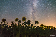 Night sky above sunflowers (starsnseconds) Tags: astrophoto astrophotographer nightscape nightlandscape nightphotography longexposure night sky stars galaxy wideangle summer sunflowers space milkyway ukraine nikond600 d600 ihorkhomych