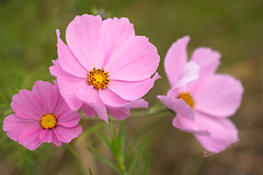 Cosmos bipinnatus - Dordrecht - Autumn2017 (Wilma v H-Thankfull for all your lovely comments a) Tags: kosmos cosmos cosmosbipinnatus cosmea flowers pinkflowers autumn autumn2017 macro closeup canoneos60d canon100mm28f plants patersweg dordrecht nederland netherlands wildflowers nature outdoors 2017 luminositymasks tkactionsv5panel