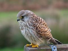 Kestrel 2 (mpb_17) Tags: birds kestrel