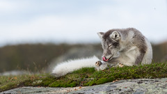 On the tip of my tongue (sequel) (CecilieSonstebyPhotography) Tags: ef70200mmf28liiisusm arcticfox fox tongue endangered høst satisfied young fall september animal norway whitefox polarfox baby rock foxpuppy bokeh cleaning comfortable autumn grass mountain specanimal ngc npc