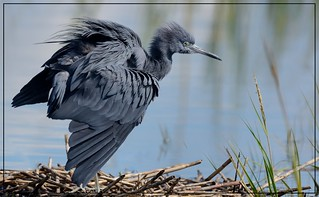 Keeping with the blues....Little Blue Heron