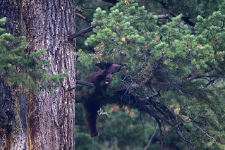 Just Hanging Out - Black Bear Cub in tree - 0121b+2