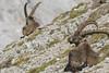 Mi stà guardando dritto negli occhi...ed io mi sciolgo.... (Claudio Ghizzo) Tags: steinbock capraibex stambecco stambecchi dolomitibellunesi nikon d7100 natura wildlife wildlifephoto naturalisticphoto fotografianaturalistica altamontagna lunghecorna tracce trail trails