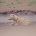 Hyena resting by water. Ngorongoro