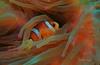 Nimo (kyshokada) Tags: nimo seaanemone anemonefish underwater scuba diving pacific japan shizuoka animalplanet izu macro