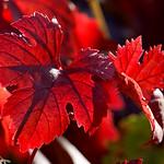 Vigne feuilles rouges thumbnail