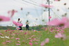 お散歩 (mizuk@) Tags: japan mie flower cosmos autumn colorful canon 三重 伊賀 花 コスモス 秋桜