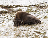 Napping in Snow (dan.weisz) Tags: yellowstone yellowstonewildlife yellowstonepark bison winter snow mudvolcano