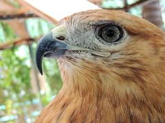 Eagle (markb120) Tags: bird fowl flyer flier animal fauna eye optic orb comb crest beak bill pecker rostrum neb nib plumage feathering feather coverts coat dress