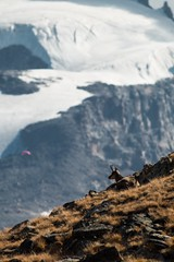 Intruso (Andrea Marchioro) Tags: animali fauna natura paradiso valledaosta alpi ghiacciaio intruso parapendio nivolet autunno fall mountain montagna camoscio parco granparadiso