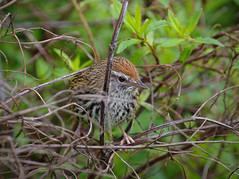 IMGP2278 Fernbird Rotokare Lake Sanctuary Eltham Taranaki 12 10 17 (Donald Laing) Tags: new zealand taranaki lake rotokare sanctuary fernbird donald laing