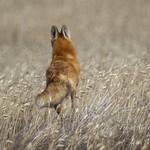 Red fox (Vulpes vulpes) thumbnail