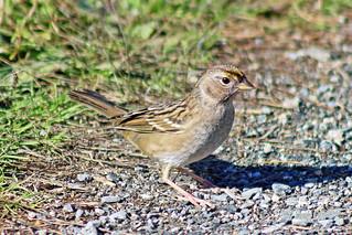 Golden-crowned Sparrow 17-1015-8631
