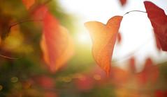 Autumn Lights... (KissThePixel) Tags: autumn autumncolours autumnlight autumnwalk beautifulday beautiful red redleaf redleaves leaf leaves nikon nikondf ai ailens 50mm f12 nikkor12 sunset light bokeh macro
