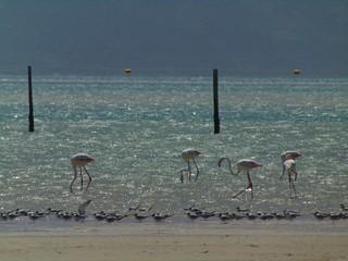 Flamingos in the glittering lagoon