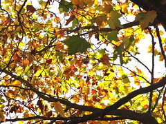 Looking up fall leaves (Julie70 Joyoflife) Tags: london fall automne octobre 2017 photojuliekertesz photojulie70 lookup colours fallcolours