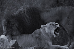 Féline Tendresse 03 (letexierpatrick) Tags: lion lionne félin zoo noir blanc noirblanc nature nikond7000 nikon monochrome couple