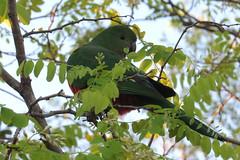 Australian King Parrot (Karlov1) Tags: australian king parrot