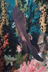 Juvenile Batfish (sarah.handebeaux) Tags: indonesia raja ampat diving mayhem