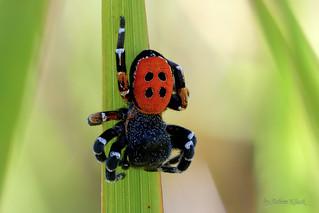 Rote Röhrenspinne (Eresus kollari) - Männchen - Nr. 2
