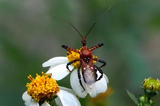 unidentified Reduviidae - an Assassin Bug