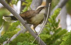 nesting grey-crowned babbler (Fat Burns ☮) Tags: greycrownedbabbler omatostomustemporalis babbler bird australianbird fauna australianfauna nature nikond500 sigma150600mmf563dgoshsmsports barcaldine queensland australia outback outdoors
