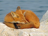 Red Dreams (marylee.agnew) Tags: red fox nature sleep water outdoor beauty canine wildlife