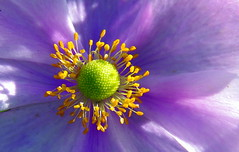 TENDRE COEUR......anémone du Japon .'EXPLORE ' (Marie-Laure Larère) Tags: fleur anémone explore