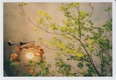 light in the forest 2 (Noël Café) Tags: トコリエ portra tocolier コダックポートラ400 オリンパス olympus オリンパスxa2 xa2 灯台躑躅 大沢カメラ ネガ コダック film 35mmフィルム フィルム colorfilm ネガフィルム negativefilm ドウダンツツジ カラーフィルム 135フィルム 満天星躑躅 ポートラ iso400 135 olympusxa2 colornegative 花市 満天星 kodakportra400 colornegativefilm filmフィルム kodak カラーネガ カラーネガフィルム 大田区 東京都 日本 jp デジタル銀塩