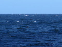 Whale watching sydney (Jellibat) Tags: whales humpback humpbackwhale sydney nsw newsouthwales boat tour whalewatchingsydney nature australia yellownosedalbatross albatross bird seabird