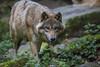 Wolf (DeanB Photography) Tags: wolf wild wolves wolfhund tiere tier tierpark tierwelt zoo zootiere münster hund raubtiere raubtier rudel dog canon deanb fleischfresser allwetterzoo
