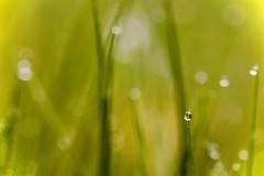 morning dew (u. Scheele) Tags: nahaufnahme natur nature natural green grün gras plant planta morning dew tamron digital drop morgentau wiese autumn canon canoneos80d eos80d eos outdoor bokeh herbst herbstmorgen waterdrop wassertropfen water blurred monochrome verschwommen