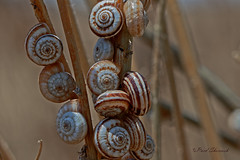 Land Snails (Raed Shorrosh) Tags: macromondays spiral
