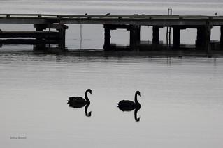 black Swans in Strahan, Tasmania