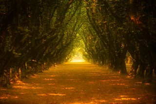 Orchard Row in Smoky Light 3787 A