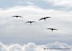Return Of The Cranes (Gary Grossman) Tags: sandhillcranes cranes wildlife garygrossmanphotography garygrossman birds return migration pacificnorthwest autumn fall nature natural