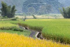 _29A0564+67.0917.TL206.Chí Viễn.Trùng Khánh.Cao Bằng (hoanglongphoto) Tags: asia asian vietnam northvietnam northeastvietnam landscape scenery vietnamlandscape vietnamscenery vietnamscene caobanglandscape ricefields fields harvest harvestingseason canon canoneos5dsr canonef70200mmf28lisiiusmlens đôngbắc caobằng trùngkhánh chíviễn tl206 phongcảnh phongcảnhcaobằng đồnglúa lúachín mùagặt caobằngmùalúachín caobằngmùagặt