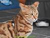 gio_k2_2017_08_366 (giordano torretta alias giokappadue) Tags: abetone bengala gastone gatto kat