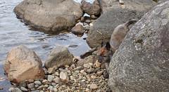 Sedum - 9/20/17 (myvreni) Tags: vermont summer nature outdoors animals dogs cairnterriers pets