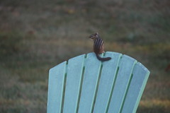 105/365/3392 (September 24, 2017) - Chipmunk On the Chair