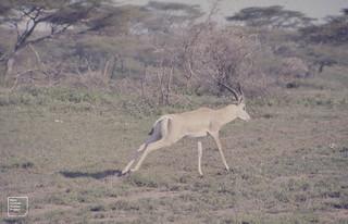 Impala. January. Ndutu. Serengeti