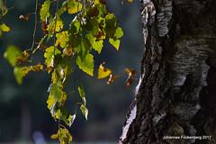 Birkenlaub (grafenhans) Tags: sony alpha 68 a68 alpha68 carl zeiss cz carlzeissjena 35135 sonnar sonnenstrahlen herbst gegenlicht laub baumstamm birke natur grafenwald bottrop nrw